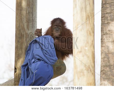 Shy young orangutan perched on a wooden plank