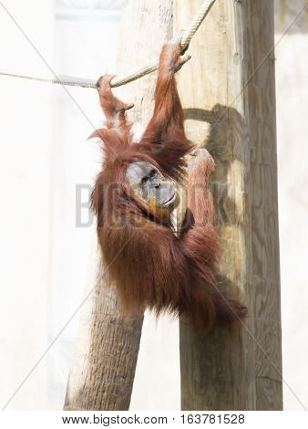 Close up of an orangutan hanging from a rope