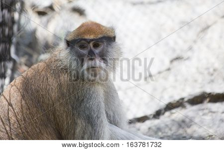 Patas monkey also called a military monkey and the red guenon looking around thoughtfully