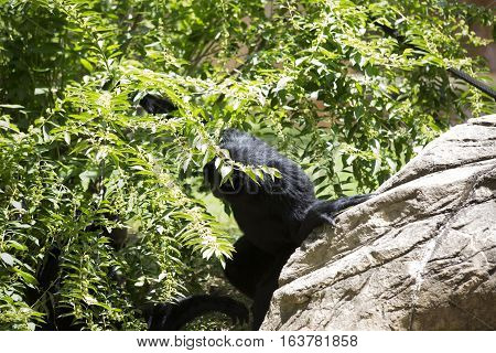 Siamang gibbon monkey hidding in the bushes