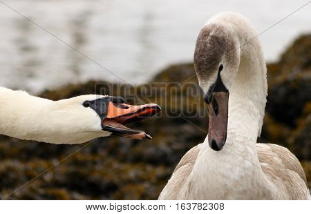 An adult Mute Swan hissing aggressively at it's cygnet