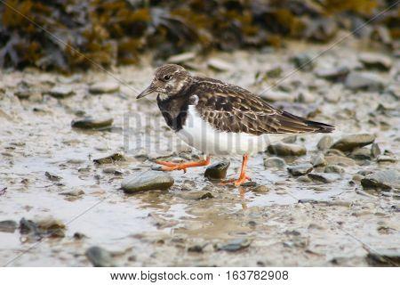 An orange legged Turnstone wading across a mudflat