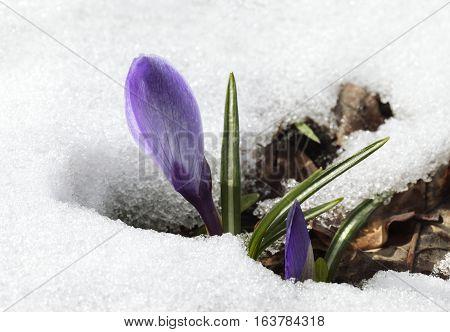 A fresh crocus flower in the snow