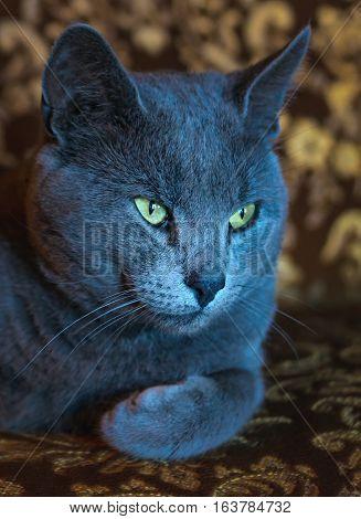 Portrait Of Lying Russian Blue Cat
