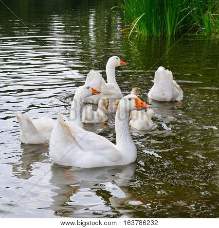 a flock of white geese floats in the lake water