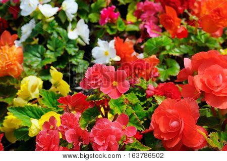 Bright background of blooming begonias. Focus on the foreground. Shallow depth of field