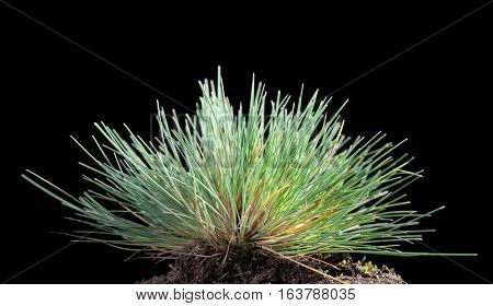 Green Grass Cluster