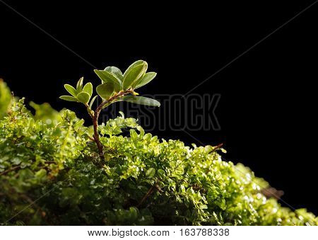 Tiny Shrub Of Cowberry