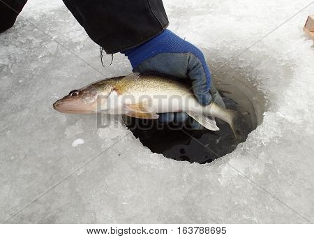 Ice fisherman holding a Walleye just caught ice fishing