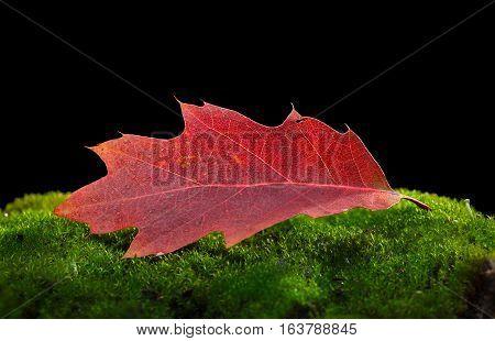 Oak Abscissed Red Leaf