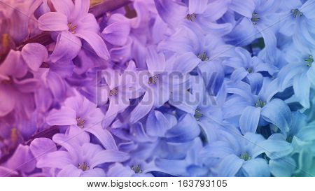 iridescent flowers lilac. floral background. floral wallpaper for design. Nature.