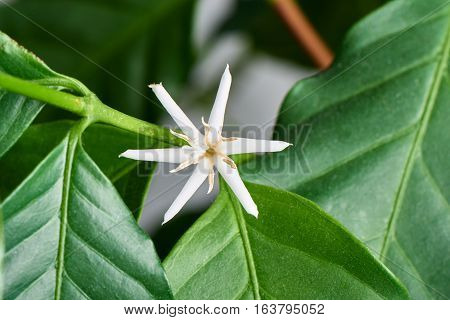 Closeup Of Arabica Coffee Flower