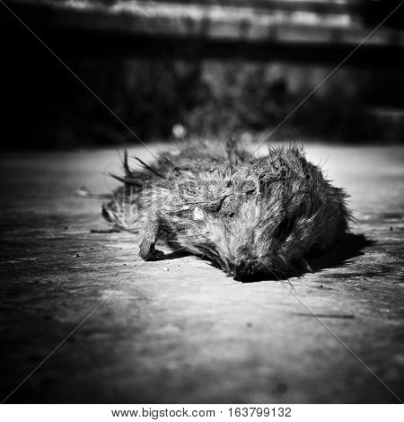 Dead rat lying on the road, rotting, in black and white.