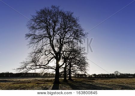 English Midlands winter trees seen against the sun poster