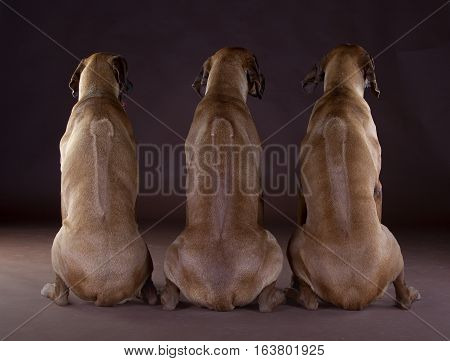 Three brown rhodesian ridgeback dog in studio