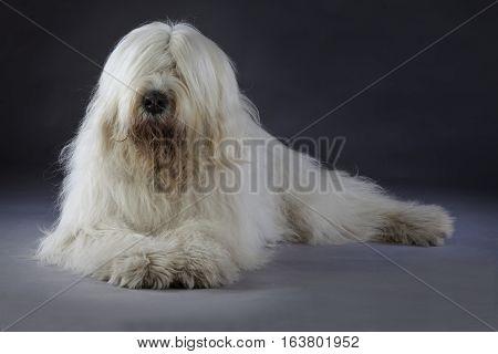 White russian sheepdog lying down in studio