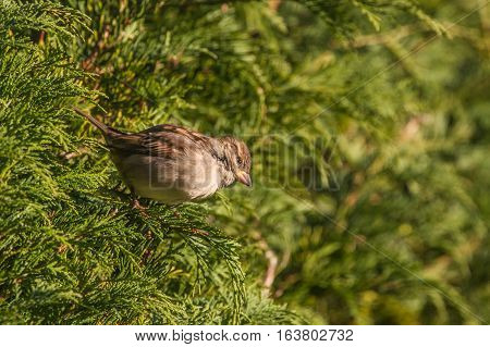 House Sparrow (Passer Domesticus) perched in hedgerow