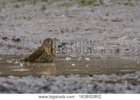 Song Thrush (Turdus Philomelos) bathes in puddle in the rain