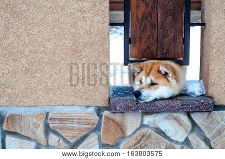 Lovely Akita dog peeking out from under the fence
