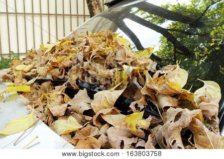 Dry Leaves on Windshield of Car Parking under Trees