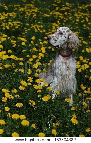 White big pure breed dog with brown spots of hunting breed - english setter - sitting in the spring green field full of yellow flowers dandelions in vintage style