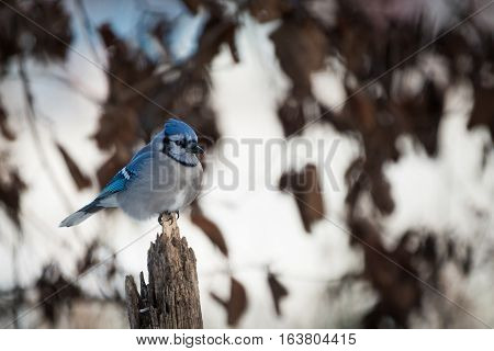 Blue jay sits on a fence post