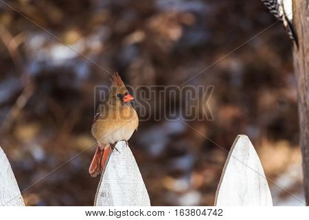 Female northern red cardinal on a white fence post.