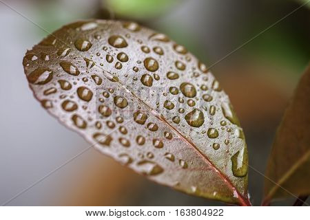 Individual rain water droplets resting on the surface of a waxy leaf. A metaphor for Zen philosophy and beauty in nature.