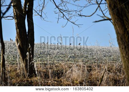 Forest animals roe deer on farm fields. Deer.