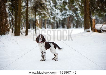English Springer Spaniel cute puppy. Hunting dog in the winter wood
