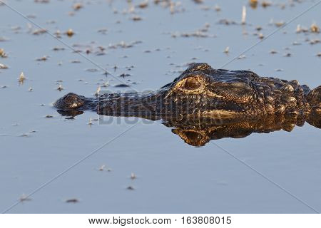 Closeup Of An American Alligator - Florida