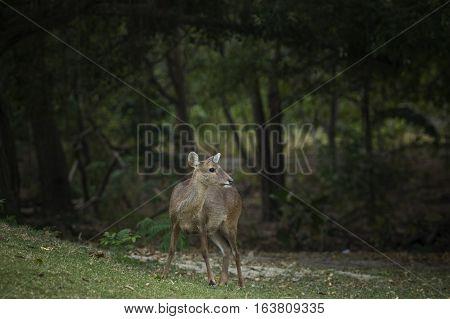female Eld's deer Thamin Brow-antlered deer in field poster