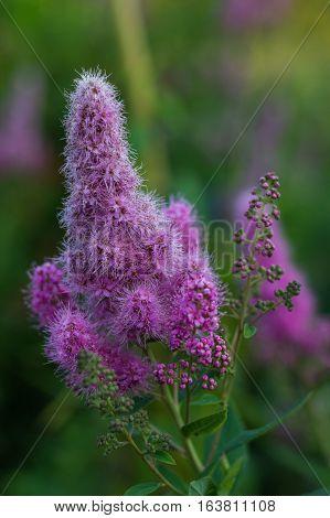 Flowering shrub, Garden, Garden, July, Pistil, Purple, Summer, Spirea, billardii, `Triumphans`, shrub, violet, ornamental shrub, shrub