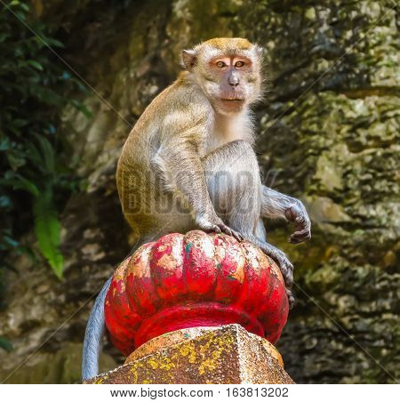 Macaque monkey or Macaca fascicularis, one of a great number of the wild macaques living in Batu Caves. Kuala Lumpur, Malaysia. Selective focus