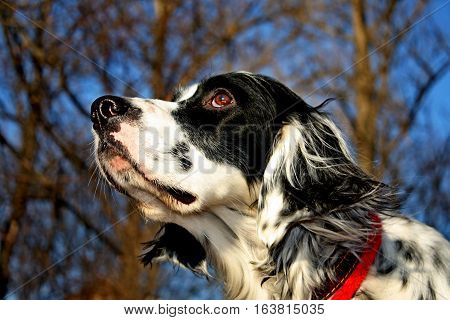 Smell of spring by pure breed spotty pointing dog of black and white colour, enjoying first light of the sunny weather