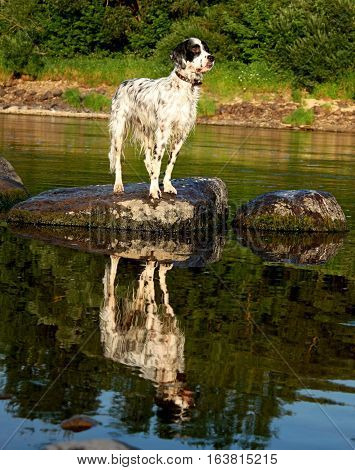 Setter reflection of the pure breed pointing dog staying on the huge stone, enjoying summer fun and sunny weather