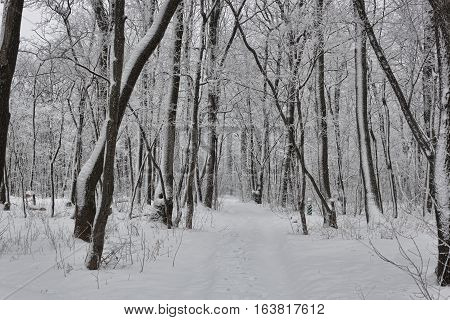 Winter deciduous forest. Everything is covered with snow