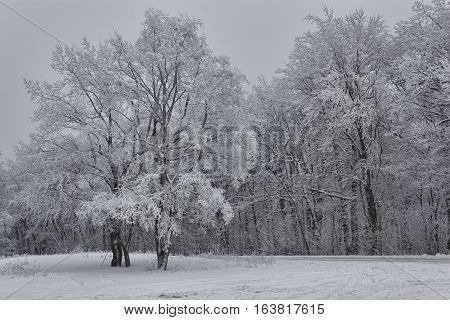 Winter deciduous forest. A glade near road in the forest. Everything is covered with snow