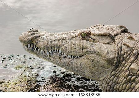 Nile crocodile closeup portrait in Kruger Natioanal park