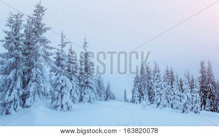 Magical winter snow covered tree. Dramatic wintry scene. Carpathian. Ukraine. Europe
