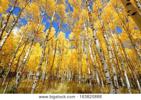 Aspen Tree Fall Foliage Color In Colorado
