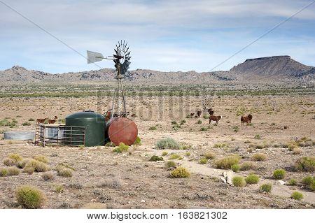 Free Range Cattle Mojave Desert