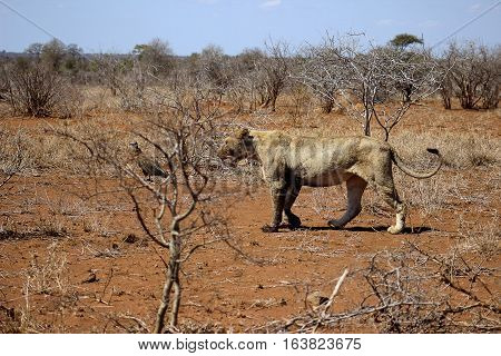 African lioness walking towards a resting place after feeding