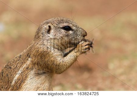 African ground squirrel (Marmotini) closeup portrait eating a nut