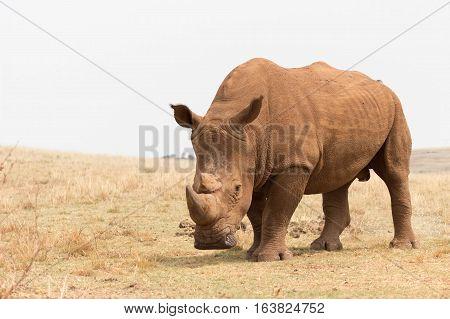 White rhinoceros (Ceratotherium simum) Rhino and lion park