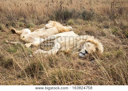 Male African white Lion (panthera leo) resting on the grass