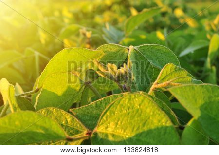Close up of soybean plant in warm early morning light