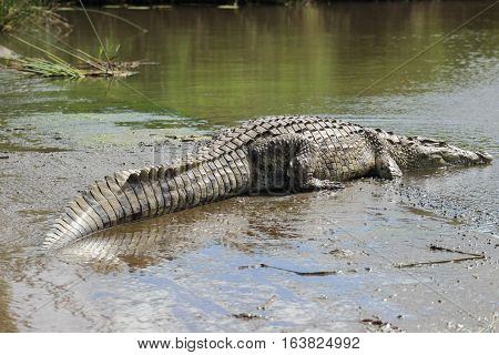 Nile crocodile [Crocodylus niloticus] on river bank