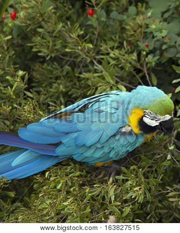 Close up of blue and yellow macaw eating berries
