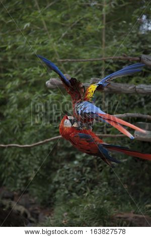 Close up of scarlet macaws playing on a branch